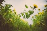 Tag 015 | 30.09.2014 So lange sie noch da sind, die Sonnenblumen...